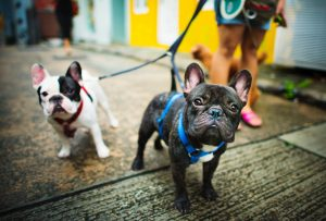 two french bulldogs being walked