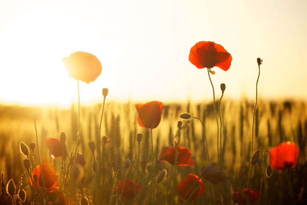 a field of poppies with the setting sun behind them.