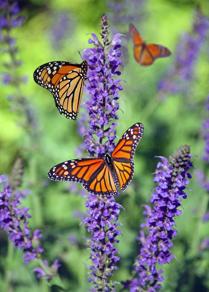 image of butterflies on a purple flower