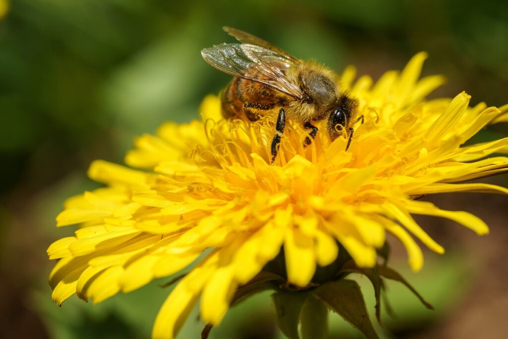 image of a bee on a dandelion flower